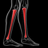 Tibia bone Stock Image