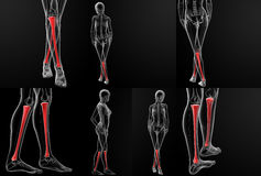 Tibia bone Stock Images