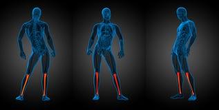 Tibia bone. 3d rendering medical illustration of the tibia bone Royalty Free Stock Photos
