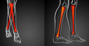Tibia bone Stock Photography