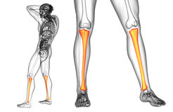 Tibia bone. 3d rendering medical illustration of the tibia bone Royalty Free Stock Photo