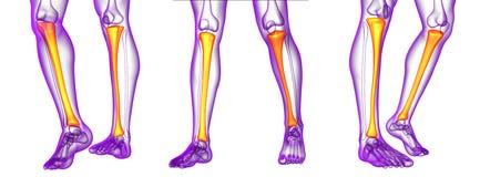 Tibia bone. 3d rendering medical illustration of the tibia bone Stock Photos