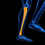 The tibia bone Stock Image