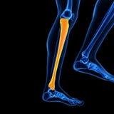 The tibia bone. Medical 3d illustration of the tibia bone Stock Image