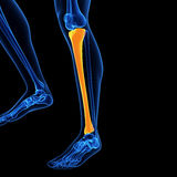 The tibia bone. Medical illustration of the tibia bone Stock Photos