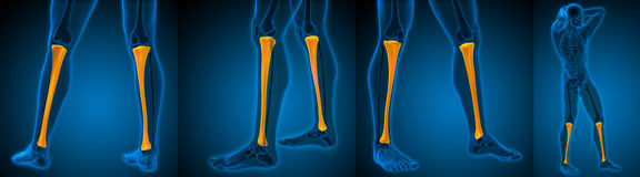 Tibia. 3d rendering medical illustration of the tibia Stock Images