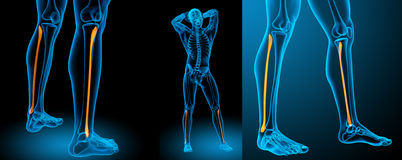 Tibia. 3d rendering medical illustration of the tibia Stock Photography