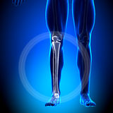 Tibia / Fibula - Calf Anatomy - Anatomy Bones Stock Photo