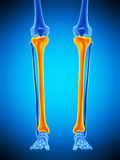 The tibia. Medically accurate illustration of the tibia Stock Photography