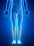 The tibialis anterior Royalty Free Stock Images
