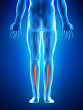 The tibialis posterior Stock Photography