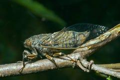 tibicen цикады bihamatus 11 Стоковое Изображение