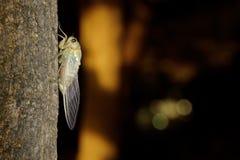 Tibicen pruinosus Zikade auf einem Baum Stockfoto