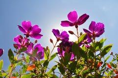tibouchina Flor-púrpura con el backlighting del sol Imágenes de archivo libres de regalías