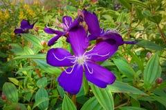 Tibouchina heteromalla flower Stock Photos
