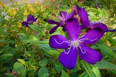 Tibouchina heteromalla flower Stock Image