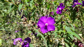 Tibouchina Stock Photo