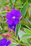 Tibouchina semidecandra, the princess flower Stock Photography