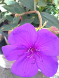 Tibouchina urvilleana, Princess flower Royalty Free Stock Photos