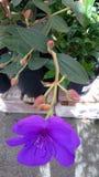 Tibouchina urvilleana, Princess flower Stock Images