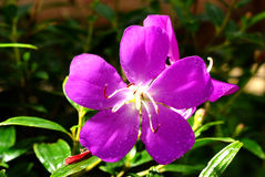 Tibouchina Urvilleana Royalty Free Stock Images