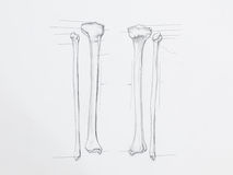 Tibula fibula bones pencil drawing. Detail of tibula fibula bones pencil drawing on white paper stock image