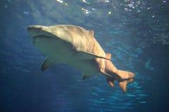 Tiburón fotografía de archivo libre de regalías