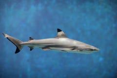 Tiburón Imagenes de archivo