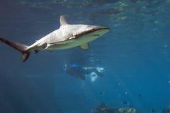 Tiburón Fotografía de archivo