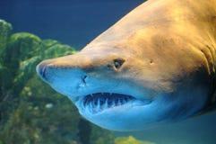 Tiburón. Imágenes de archivo libres de regalías