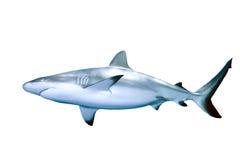 Tiburón Imagen de archivo