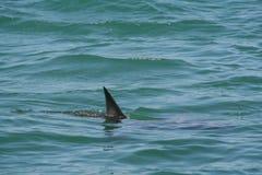Tiburón Fotos de archivo libres de regalías