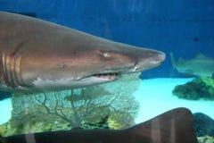 Tiburón Imágenes de archivo libres de regalías