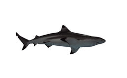 Tiburón aislado en la visión blanca desde abajo Foto de archivo