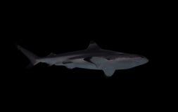 Tiburón aislado en la visión negra desde abajo Imagenes de archivo