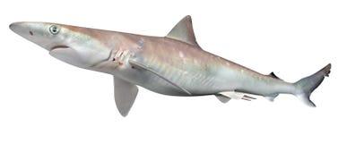 Tiburón atlántico de Sharpnose stock de ilustración
