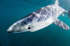 Tiburón azul en aguas poco profundas Fotografía de archivo
