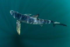 Tiburón azul en las aguas oscuras del Océano Atlántico Imagen de archivo libre de regalías