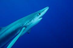 Tiburón azul (glauca del Prionace) fotos de archivo libres de regalías