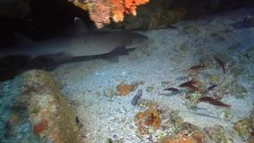 Tiburón blanco de la extremidad en una cueva almacen de metraje de vídeo