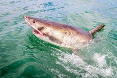 Tiburón blanco del barco foto de archivo