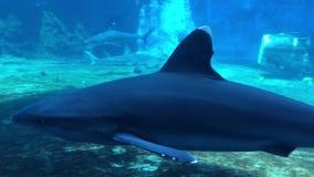 Tiburón blanco oceánico de la extremidad en acuario almacen de video