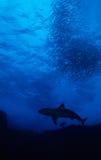 Tiburón con la bola del cebo Imagen de archivo libre de regalías