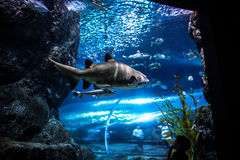 Tiburón con los pescados subacuáticos en acuario natural Foto de archivo