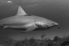 Tiburón dañado Imagen de archivo