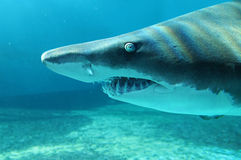 Tiburón de arena en cierre encima de la visión Foto de archivo