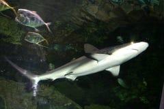 Tiburón de arriba Fotos de archivo