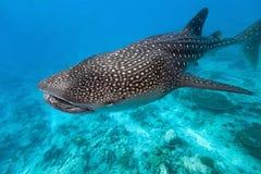 Tiburón de ballena Imágenes de archivo libres de regalías