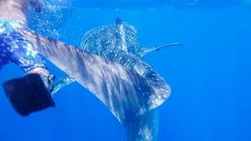 Tiburón de ballena cerca del tubo respirador cerca de la superficie en el mar abierto, contra la perspectiva de la agua de mar, e fotos de archivo libres de regalías
