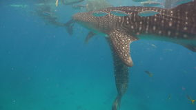 Tiburón de ballena en el océano almacen de metraje de vídeo